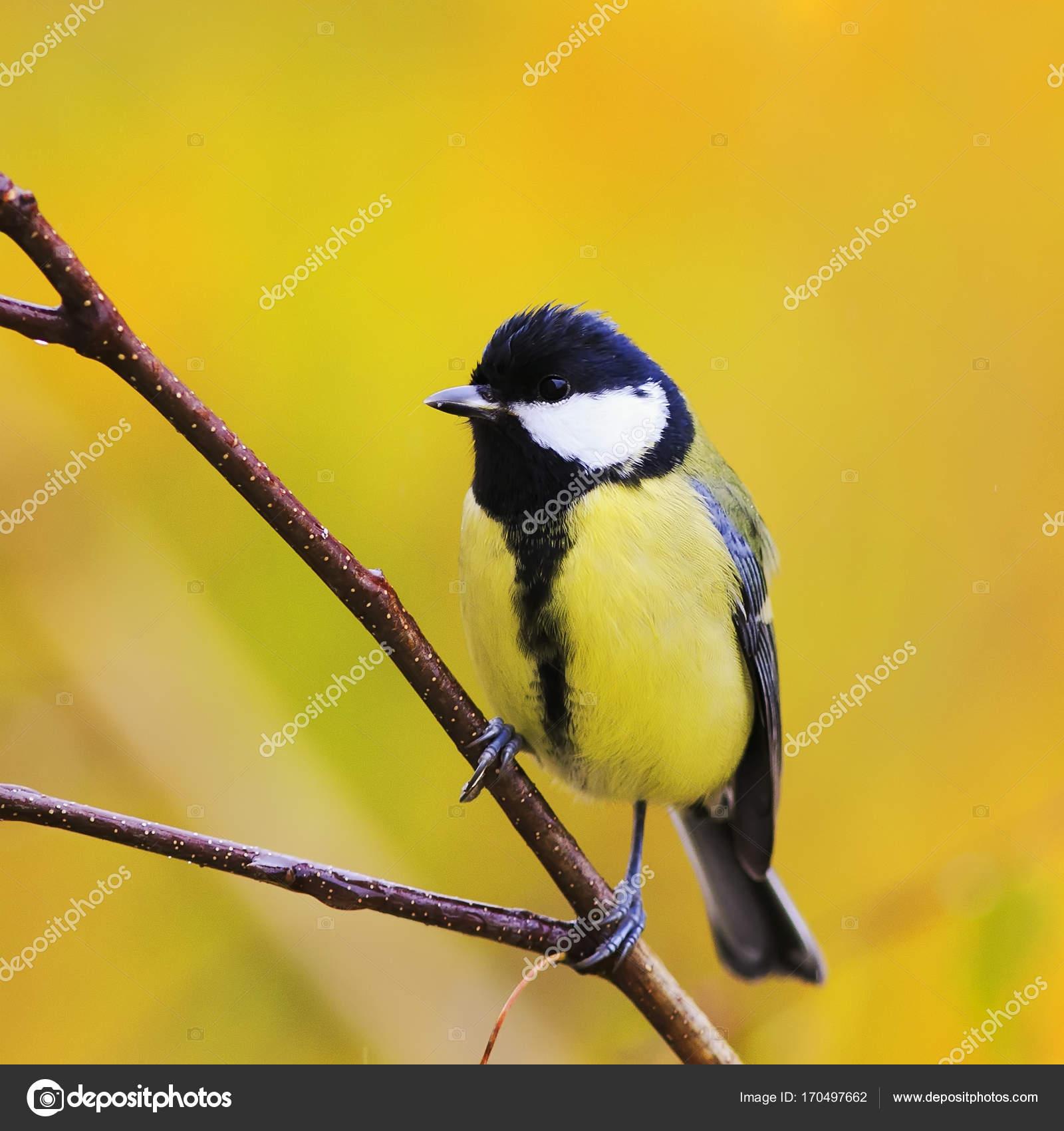μεγάλο πουλί βυζιά