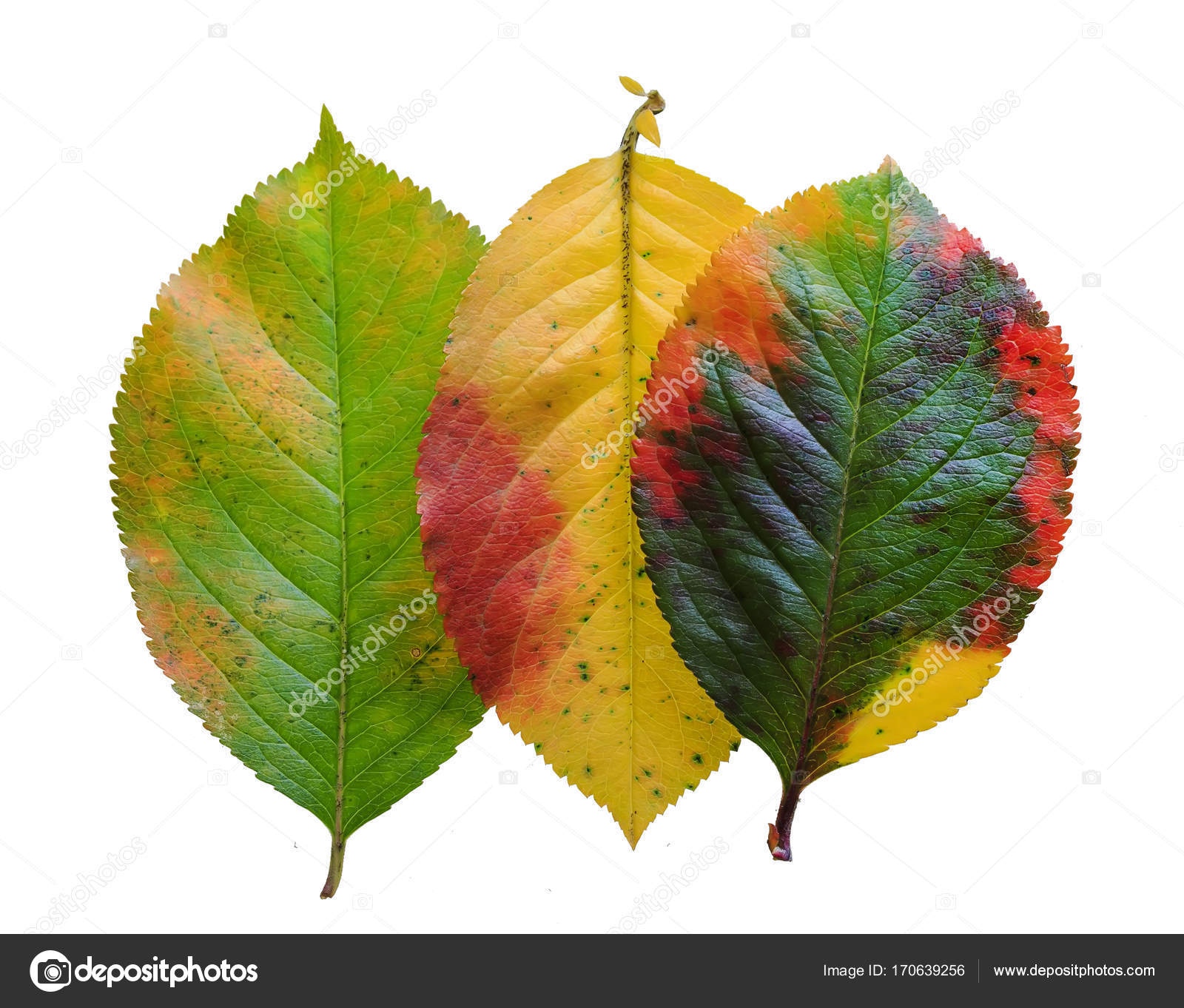 three brightly colored autumn leaf pattern Apple on white isolat ...