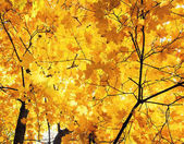 beautiful maple trees in Golden autumn bright leaves against the