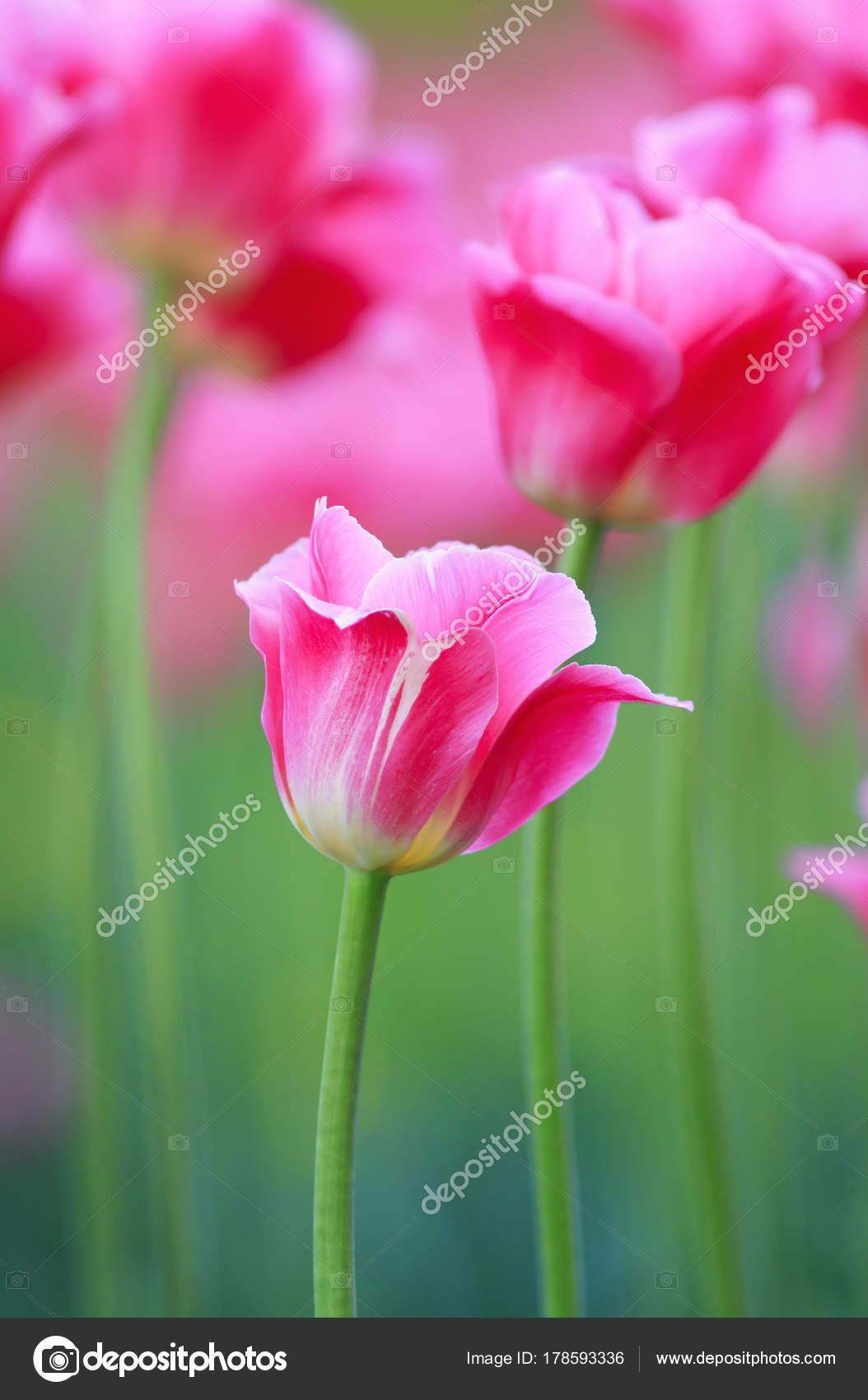 Rosa Blumen Tulpen Wachsen Im Garten Im Frühjahr Stockfoto