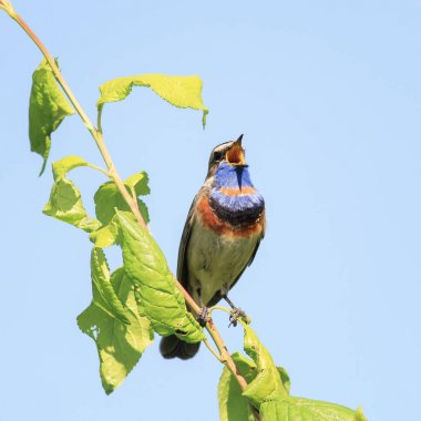 the male Bluethroat birds with bright plumage, singing song in t