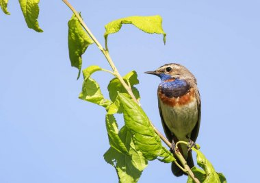 the bright blue bird sitting in tree in spring forest