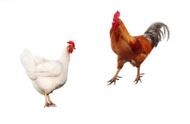 two birds, chicken and a bright red rooster on a white isolated
