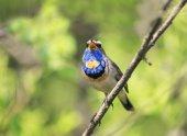 Fotografia bellissimo maschio Pettazzurro uccello seduto su un ramo e canta un s
