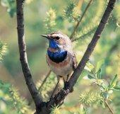 helle schöne männliche Blaukehlchen Vogel sitzt auf einem Zweig flauschig