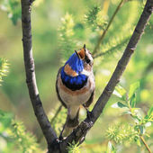 ein strahlend schöner männlicher Blaukehlchenvogel, der auf einem Ast sitzt und