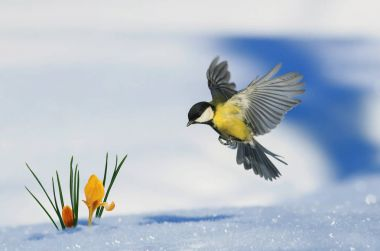 little bird tit flies up to growing out of the snow bright yello