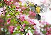 Niedliche Vogelmeise fliegt mit ihren Flügeln zu einem blühenden Frühlingsapfel