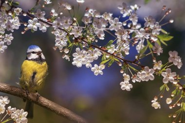 beautiful little bird tit azure sits on a branch of a flowering white cherry in the may garden and sings a song