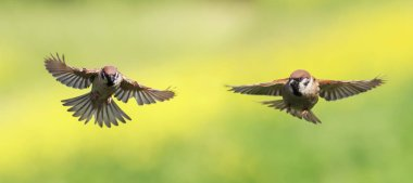 two small Sparrow birds fly wide apart wings in a Sunny garden