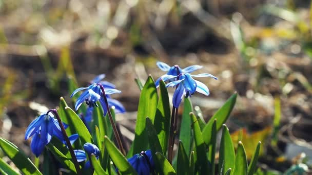 first spring flowers scilla blue blooms in the forest
