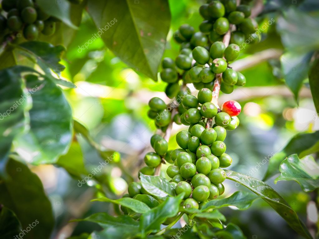 Green of coffee pods on the branch