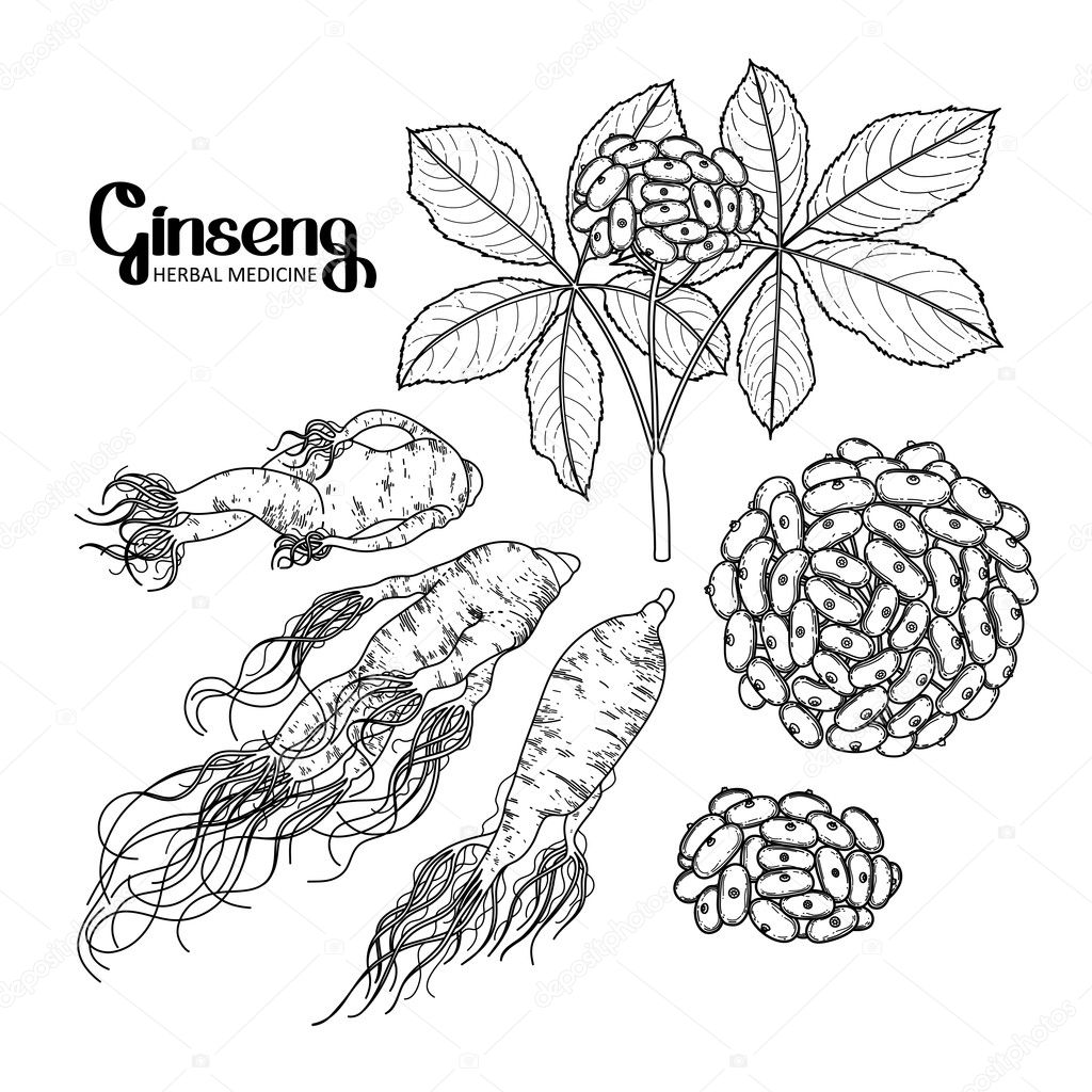 Graphic ginseng root and berries