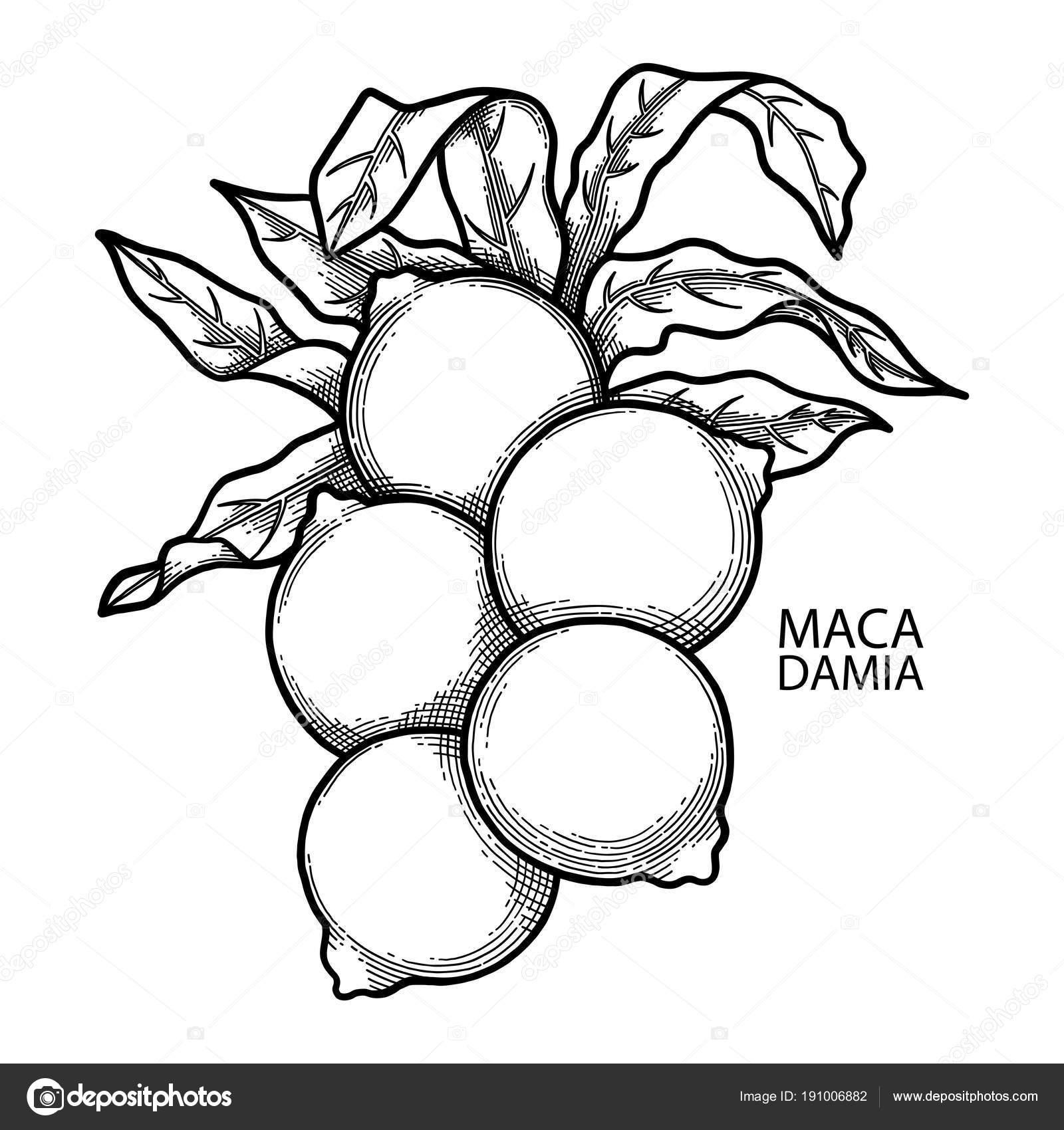 Grafik Macadamia Fındık Stok Vektör Homunkulus28 191006882