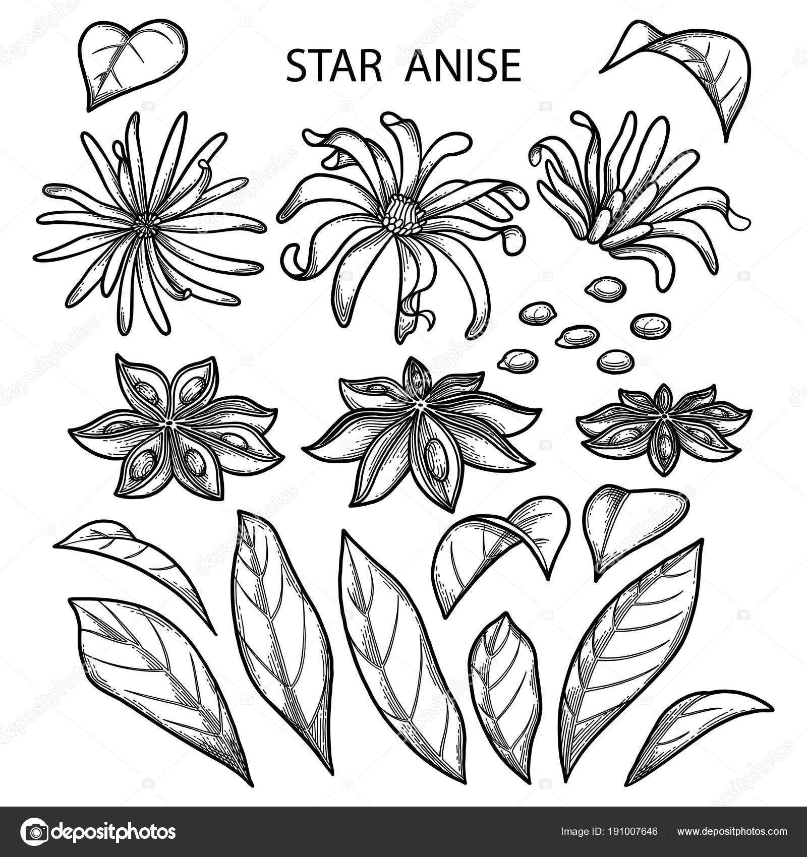 Imágenes Anis Para Dibujar Gráfico Estrellas De Anís Vector De