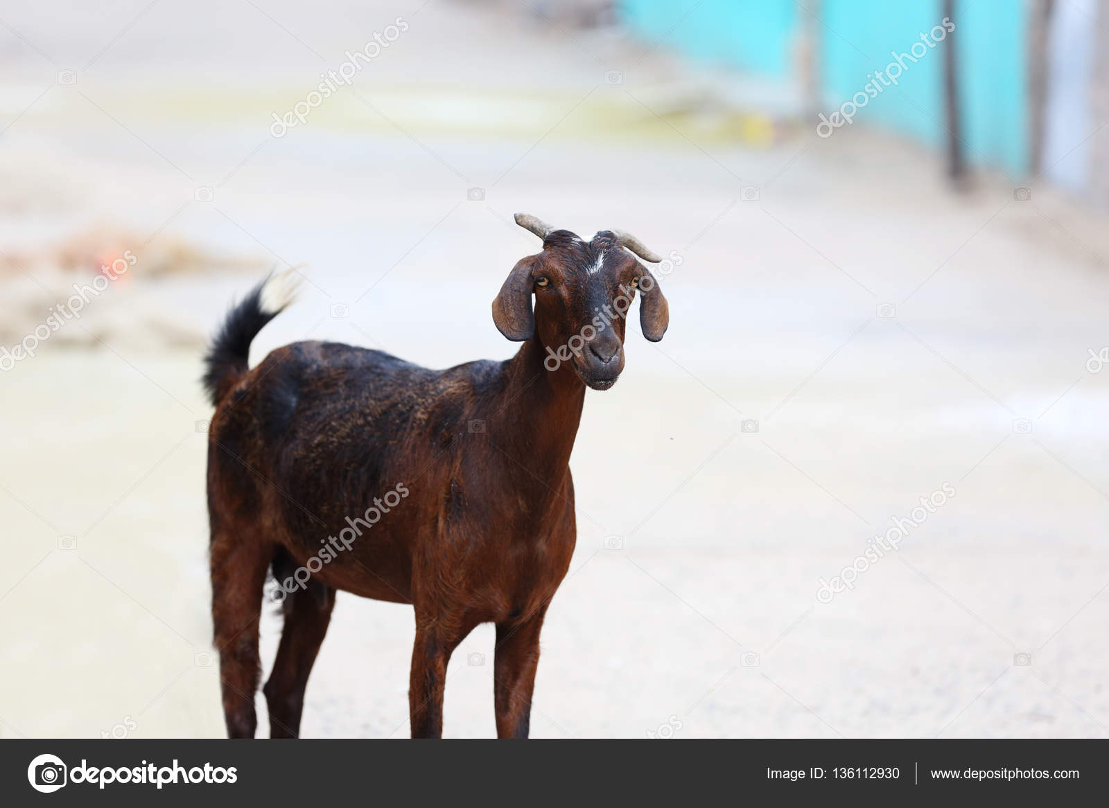 Indian Bread Domestic Animal Goat — Stock Photo © shyamala