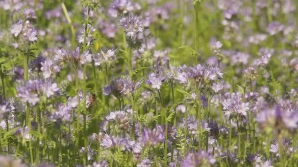 Včely sbírají nektar z květů Phacelia / Honey bee a divoké včely živí Phacelia odletět. Phacelia přitahuje opylovače, včely medonosné a další užitečný hmyz