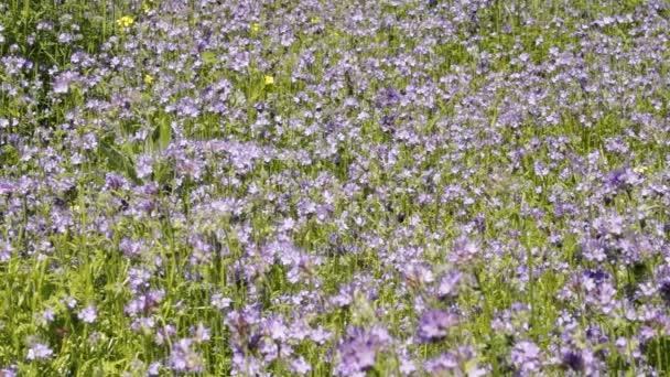 Méhek gyűjteni nektárt a virágok a facélia / mézelő méh és a vadon élő méhek etetése a facélia elszáll. Facélia vonzza pollinators, mint a méhek és egyéb hasznos rovarokat.