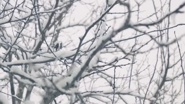 Padající sníh na stromech z okna / padá na stromech, nadýchané, bílý sníh, šedý zimní den. Pohled z okna, zimní zahrady