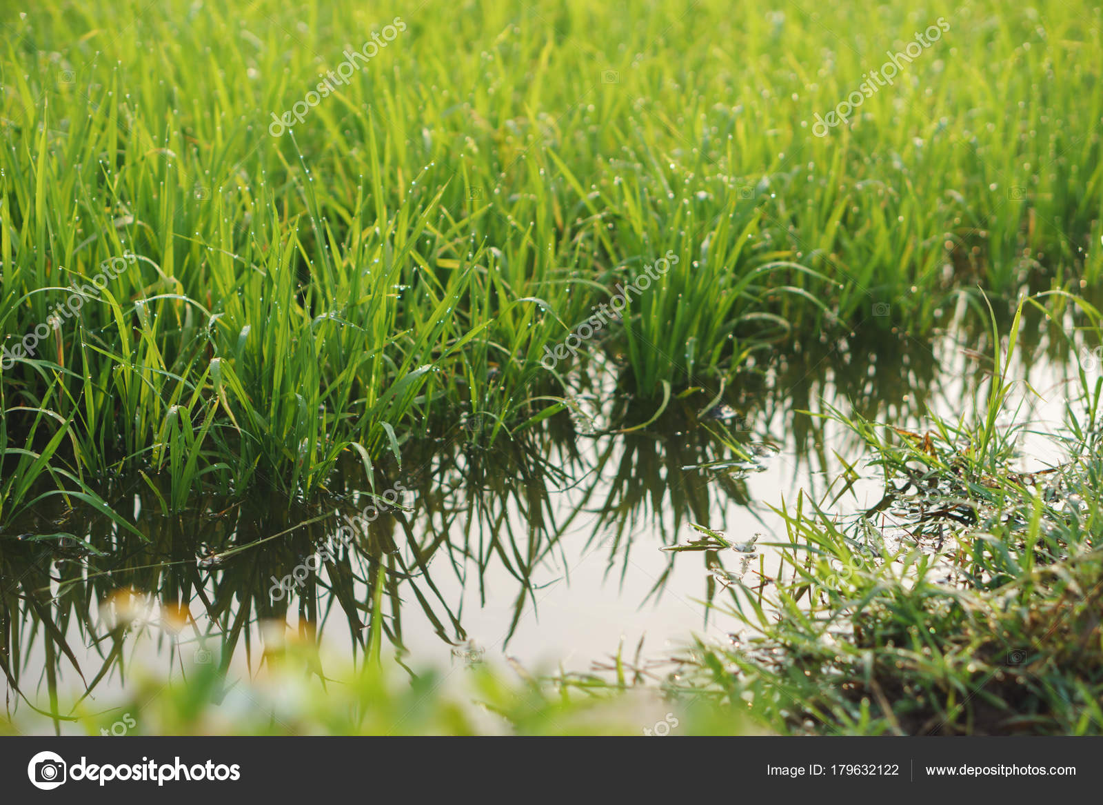 Small Rice Plants Full Water Rice Field Asian Country Some