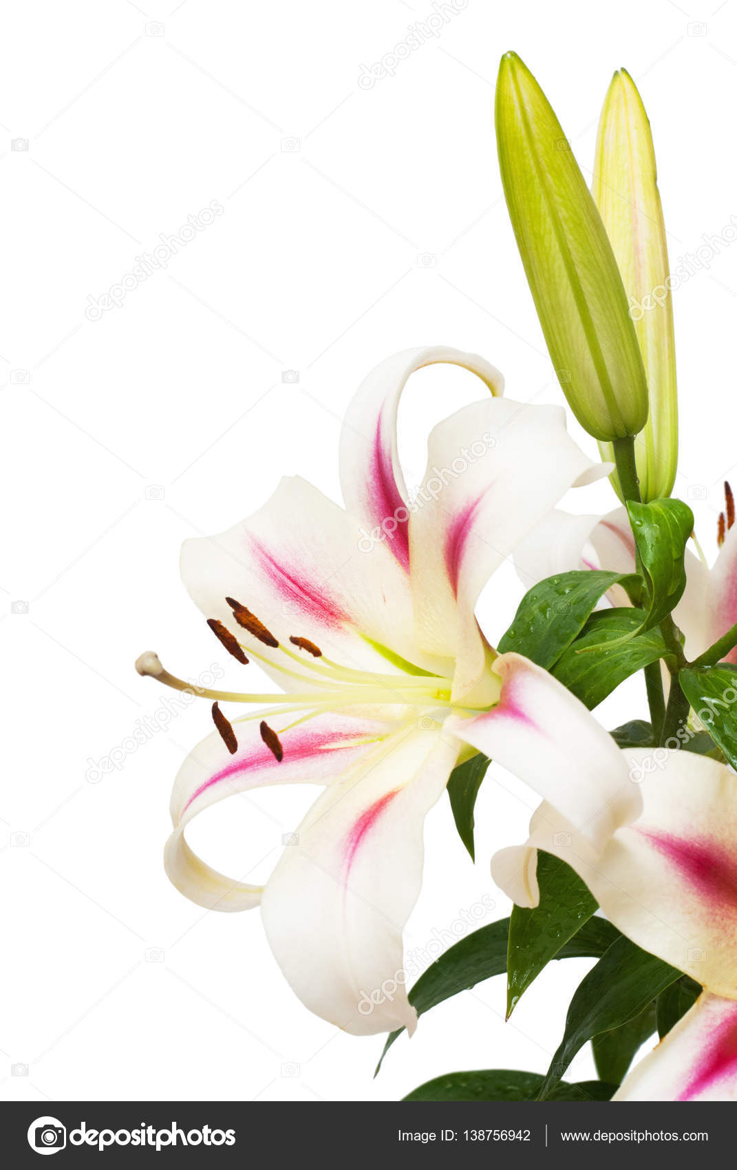 Beautiful bouquet of white lily flower stock photo flowerstudio beautiful bouquet of white lily flower isolated on white background form of a starfish flat lay top view photo by flowerstudio izmirmasajfo
