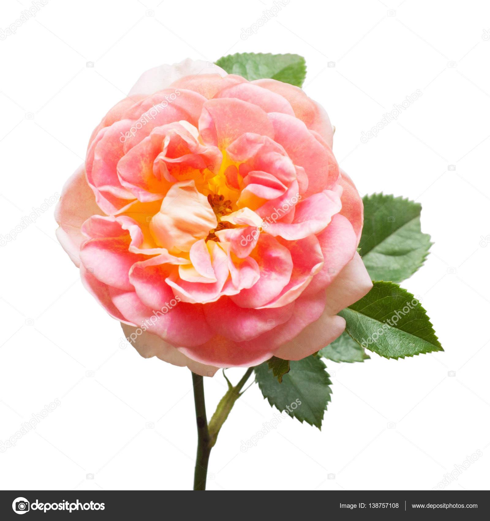 Rose Belle Fleur Rose Photographie Flowerstudio C 138757108