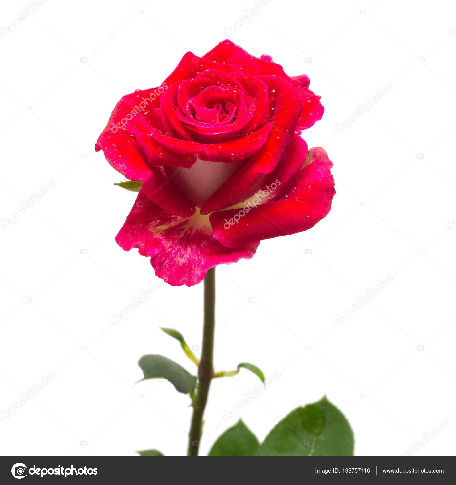 Rosa vermelha flor bonita — Stock Photo © FlowerStudio ...  |Rosa Flor Vermelha