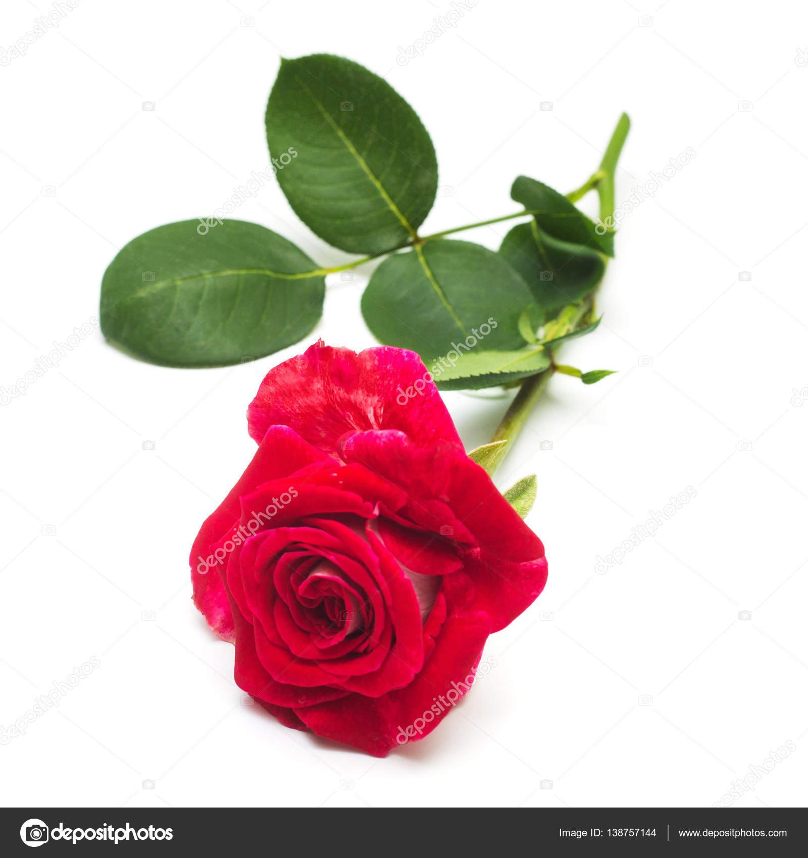 fleur rose rouge — photo #138757144