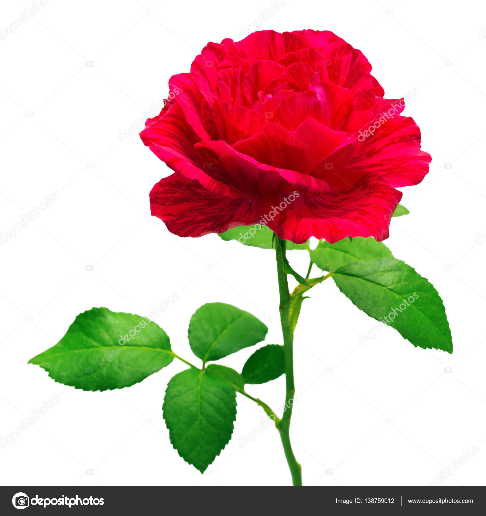 Rosa roja flor hermosa — Foto de Stock