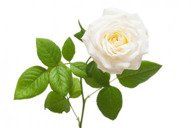 Beautiful flower white rose