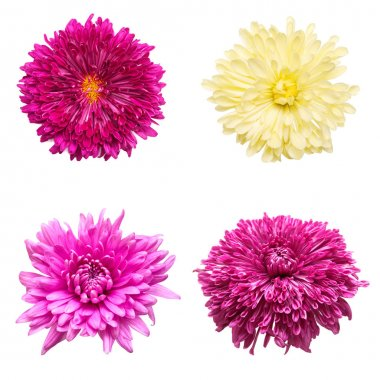 Collection of flowers chrysanthemums