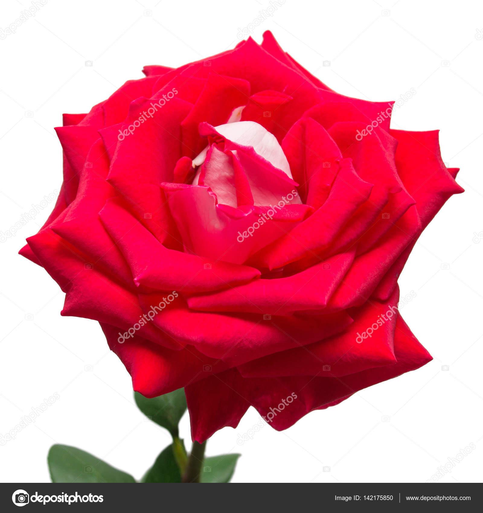 fleur rouge rose isolé sur fond blanc. mariage — photo #142175850