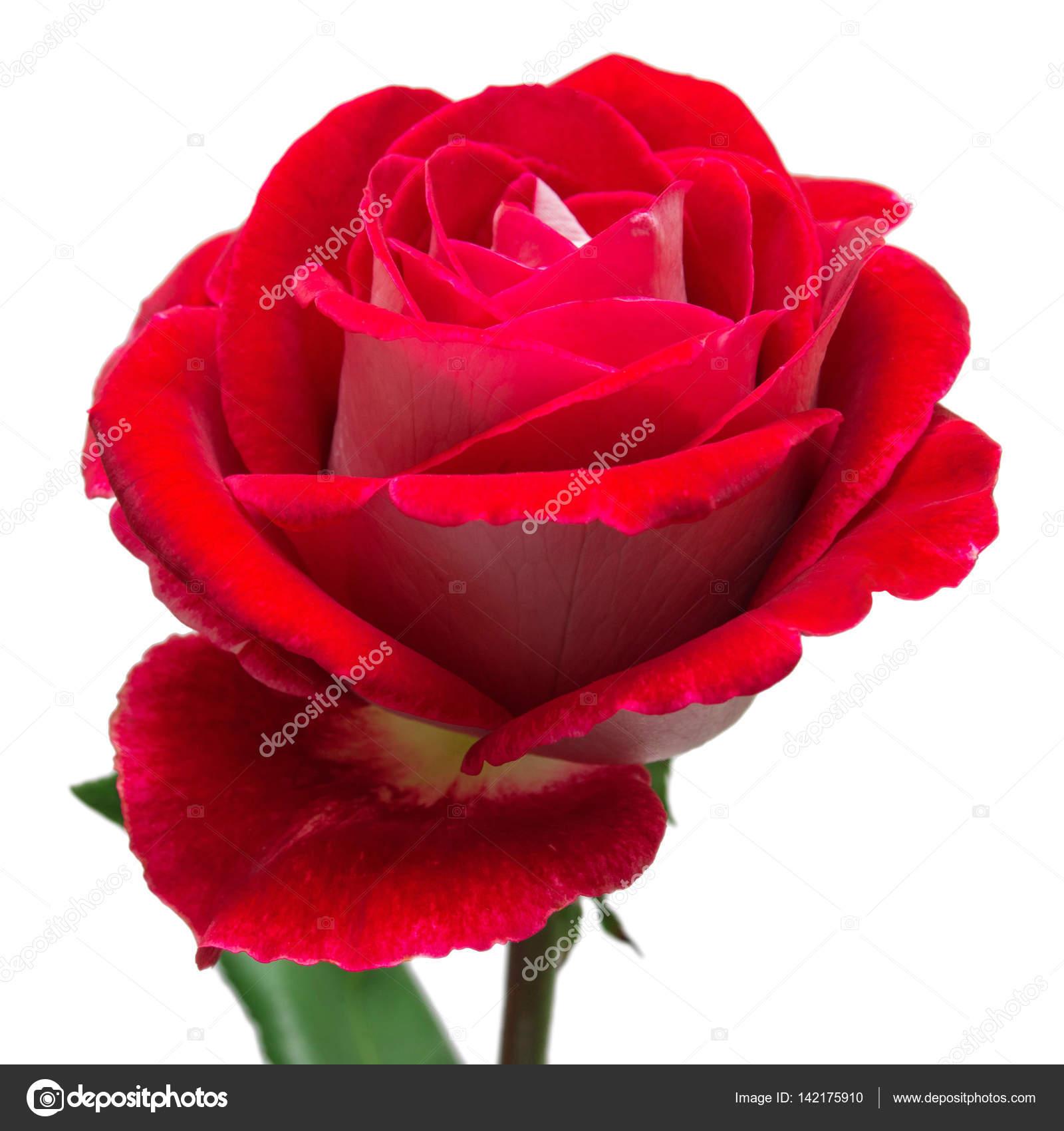 Rosa Vermelha no Elo7 | Arte Quadro (957BC6)  |Rosa Flor Vermelha