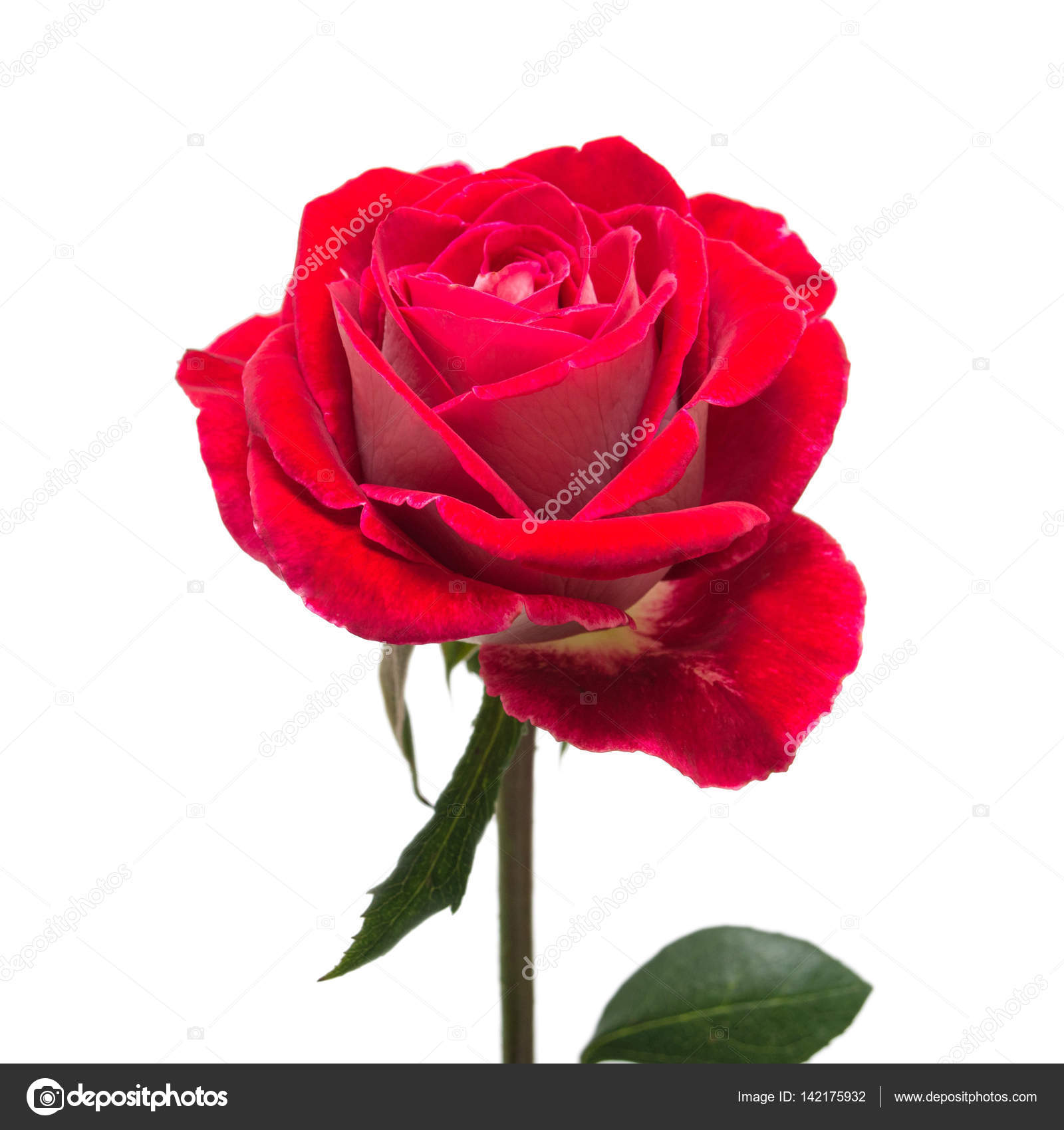 Beautiful flower red rose isolated on white background wedding beautiful flower red rose isolated on white background wedding card greeting summer spring flat lay top view love valentines day photo by izmirmasajfo