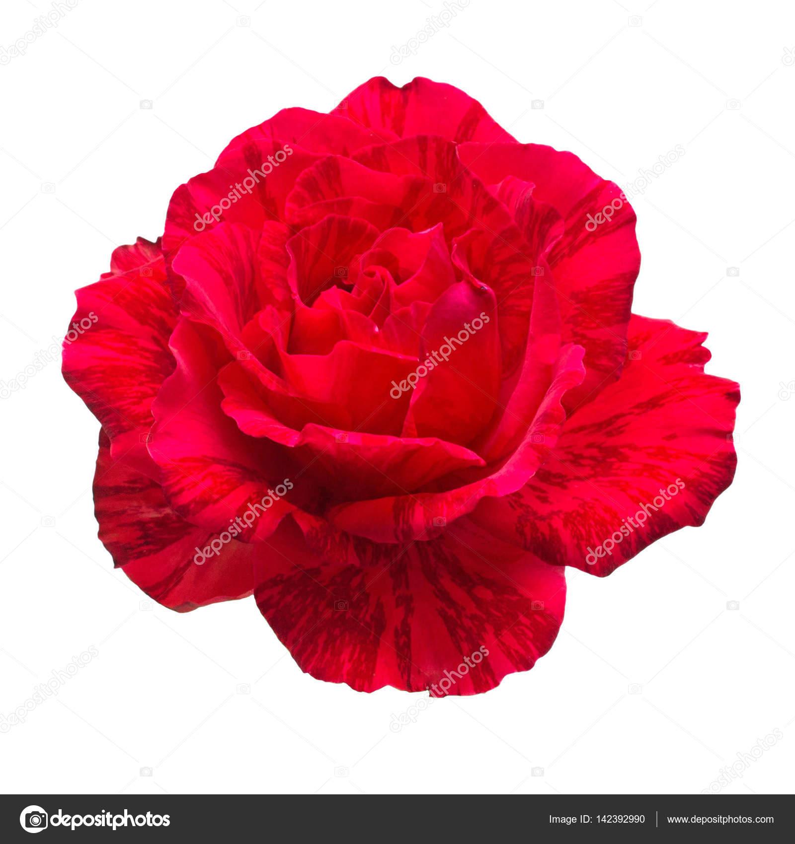 Rose De Belle Fleur Rouge Isole Sur Fond Blanc Photographie