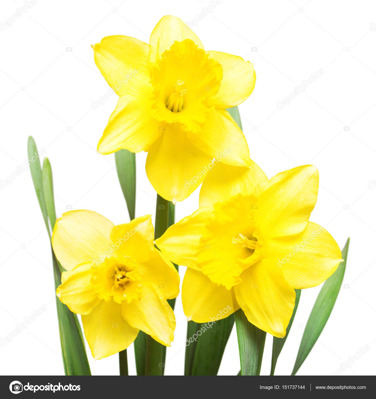 Flores Narcisos Amarillos Ramo De Flores De Narcisos Amarillos - Narcisos-amarillos