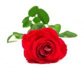 Krásná květina červená růže