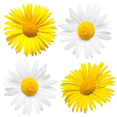 Collection of beautiful daisy flowers