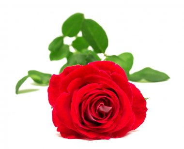 Beautiful flower red rose