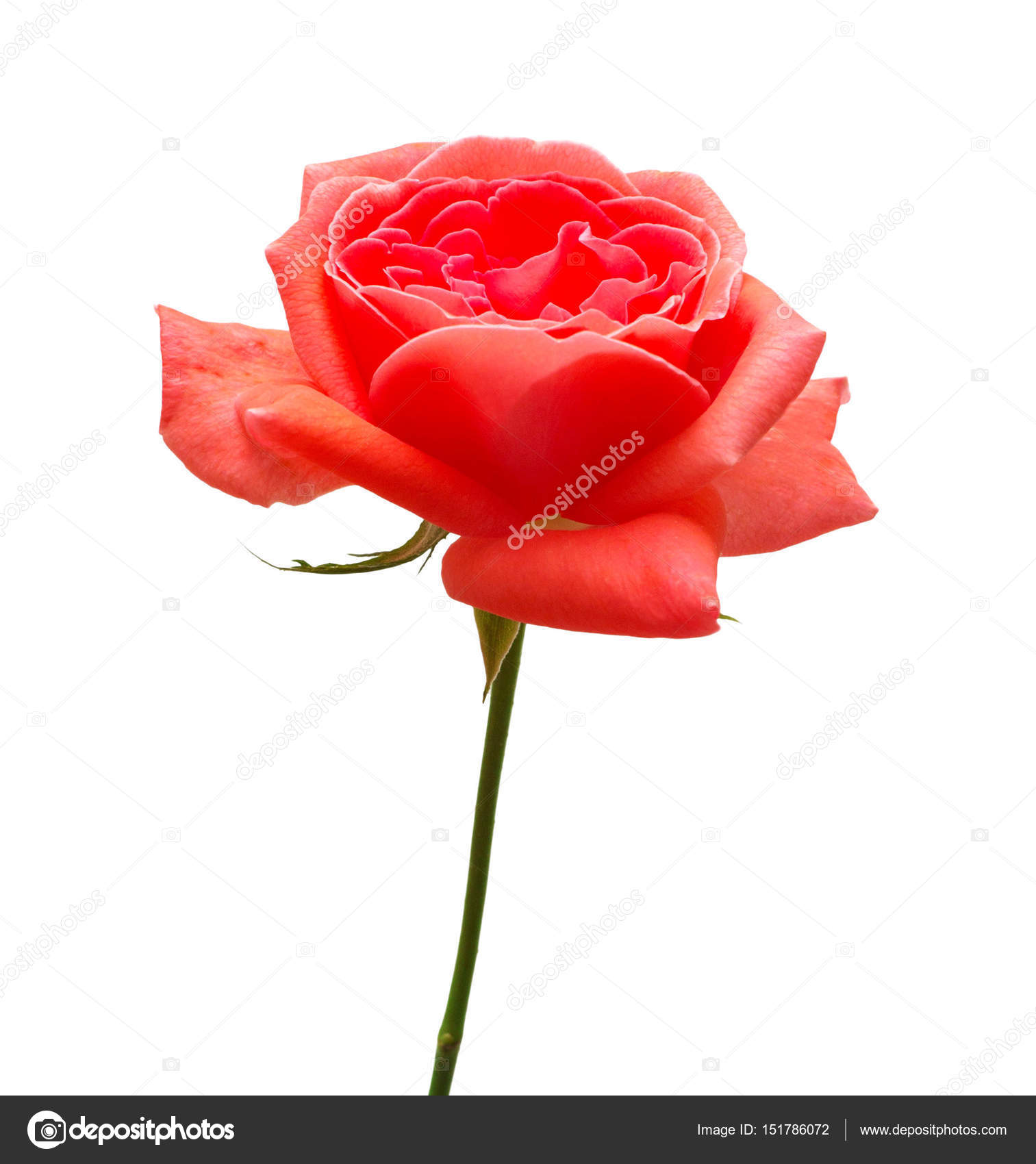 Beautiful flower red rose stock photo flowerstudio 151786072 beautiful flower red rose isolated on white background wedding card greeting summer spring flat lay top view love valentines day photo by izmirmasajfo
