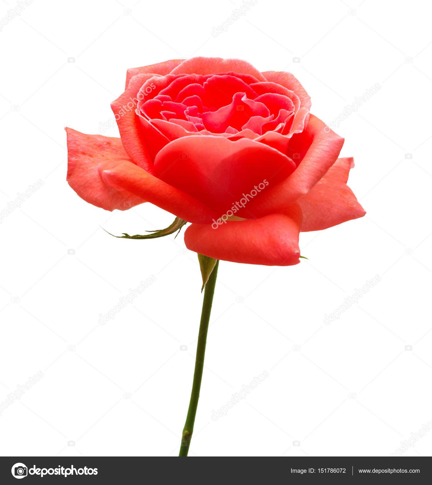 Piękny Kwiat Czerwona Róża Zdjęcie Stockowe Flowerstudio