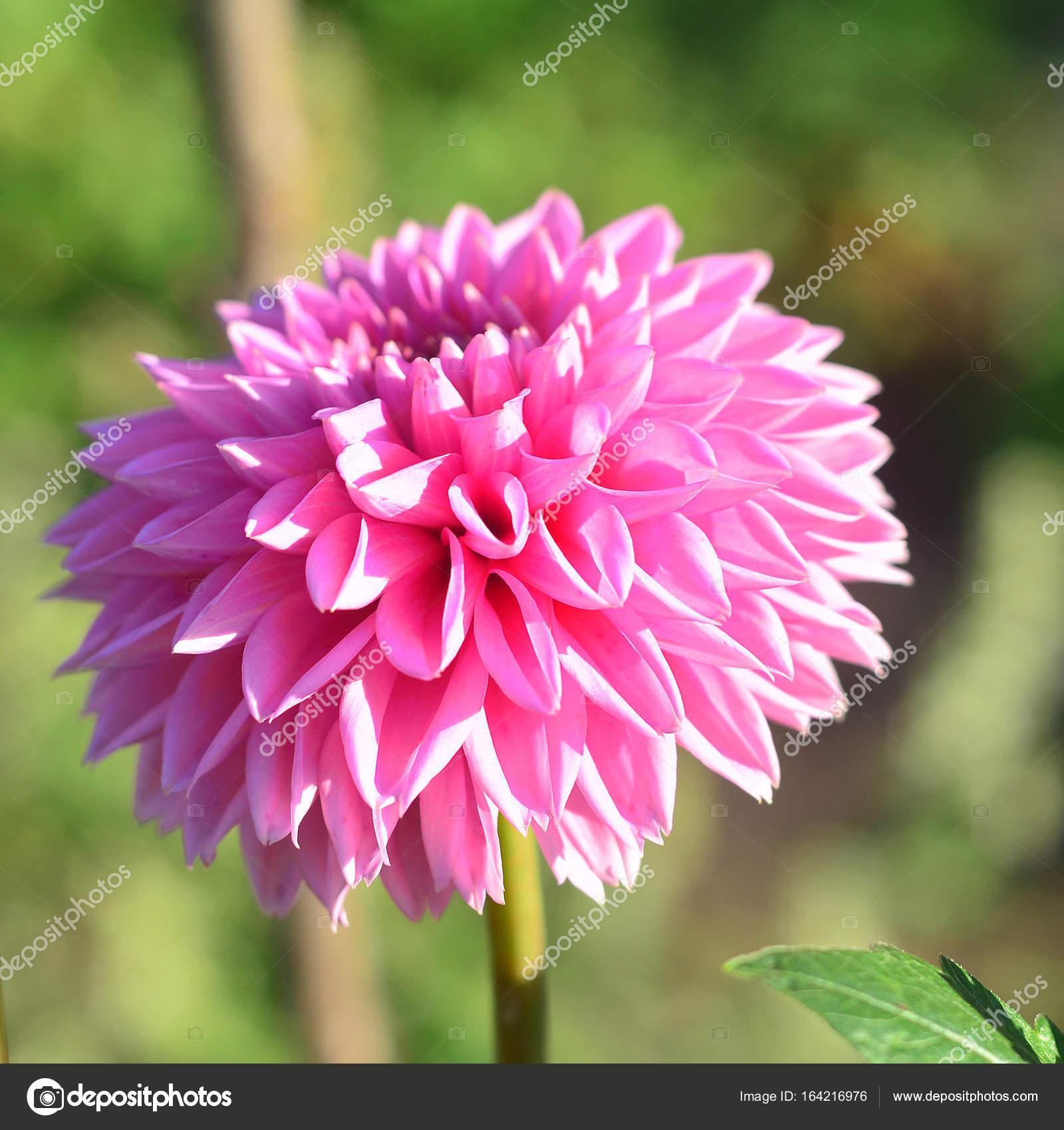 Flores de Dalias rosa y brotes en el jardín de las flores — Foto de ...
