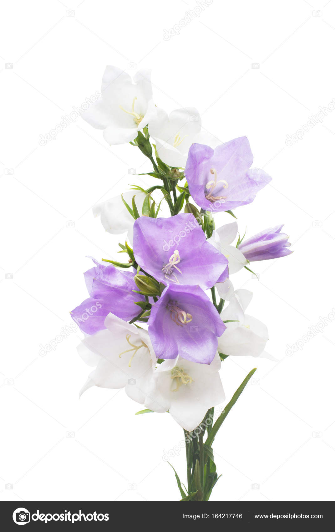 Blue And White Bell Flowers Isolated On White Background Flower