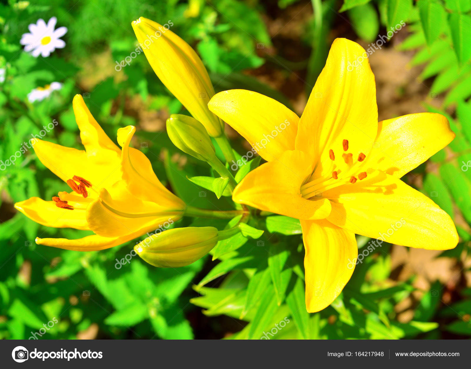 Beautiful lily flowers in a garden on a lawn background flowerb beautiful lily flowers in a garden on a lawn background flowerb stock photo izmirmasajfo