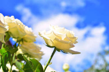 A white rose flower in a garden against a blue sky and clouds. V