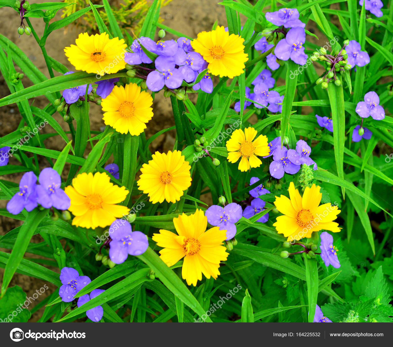 Flowers Of Yellow Daisies And Blue Tradescantia In The Garden On