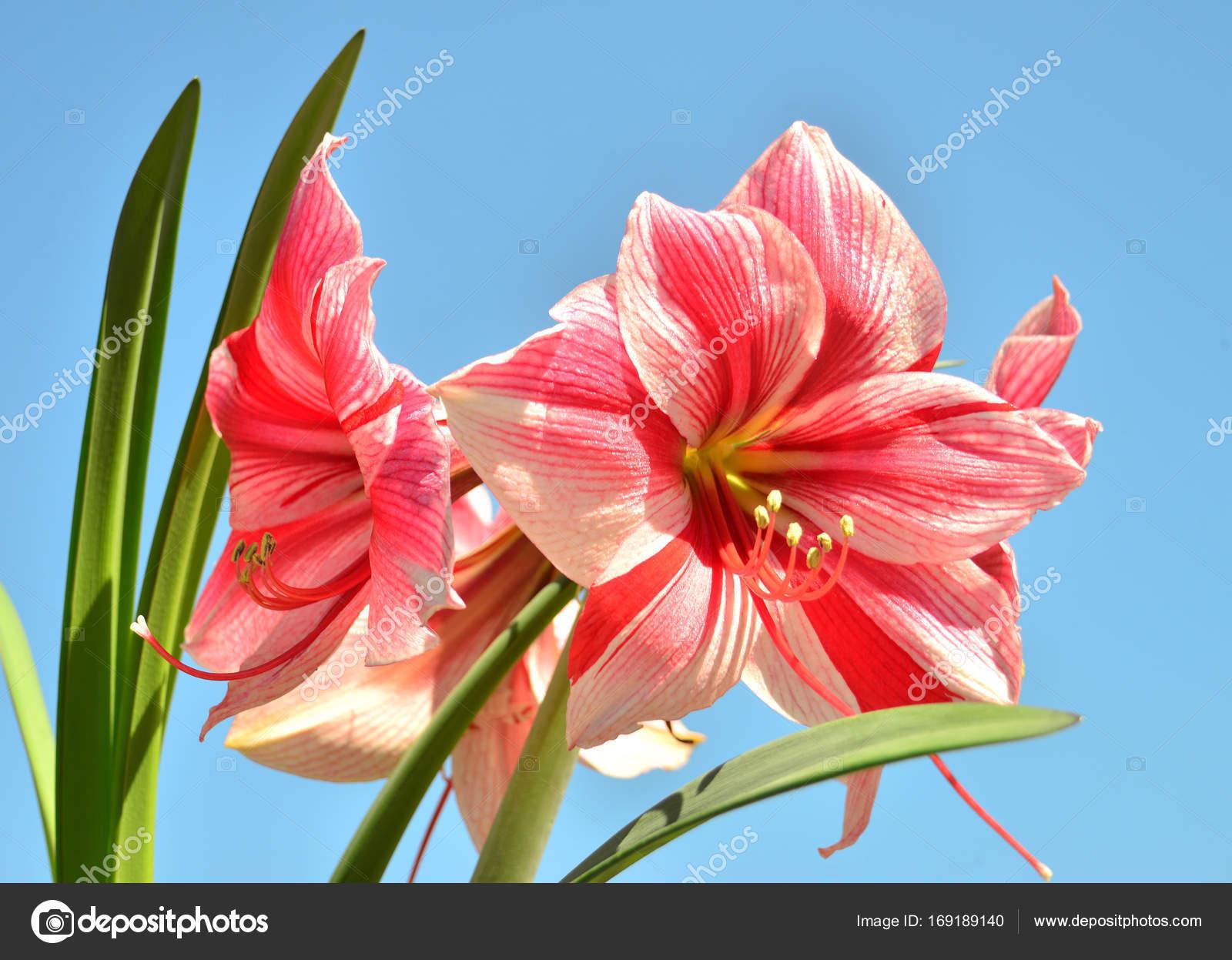 Un bouquet de fleurs d amaryllis rose sur un fond de ciel for Amaryllis fleurs