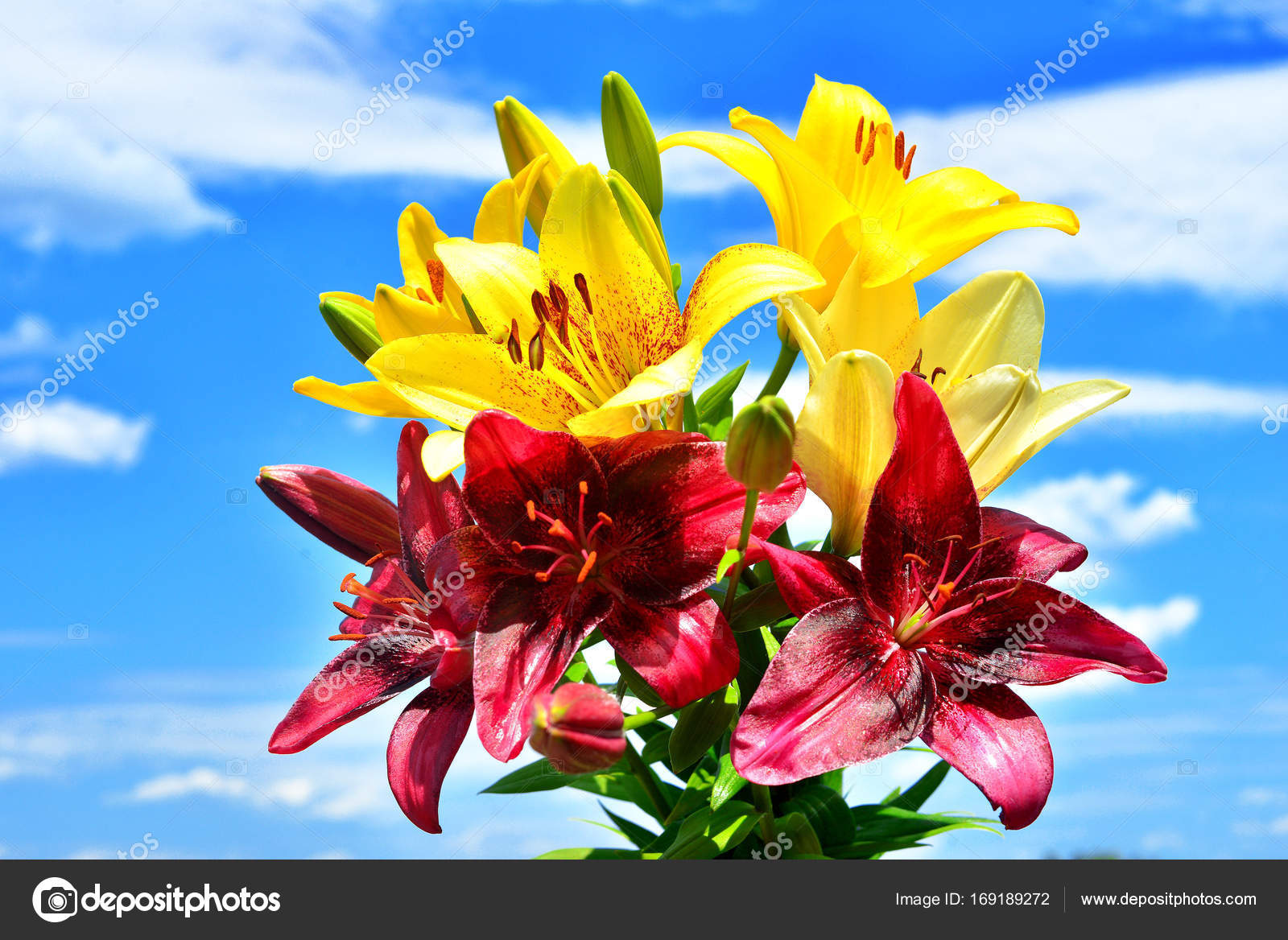 Beautiful flowers of lilies yellow red and pink against the blu beautiful flowers of lilies yellow red and pink against the blu stock photo izmirmasajfo
