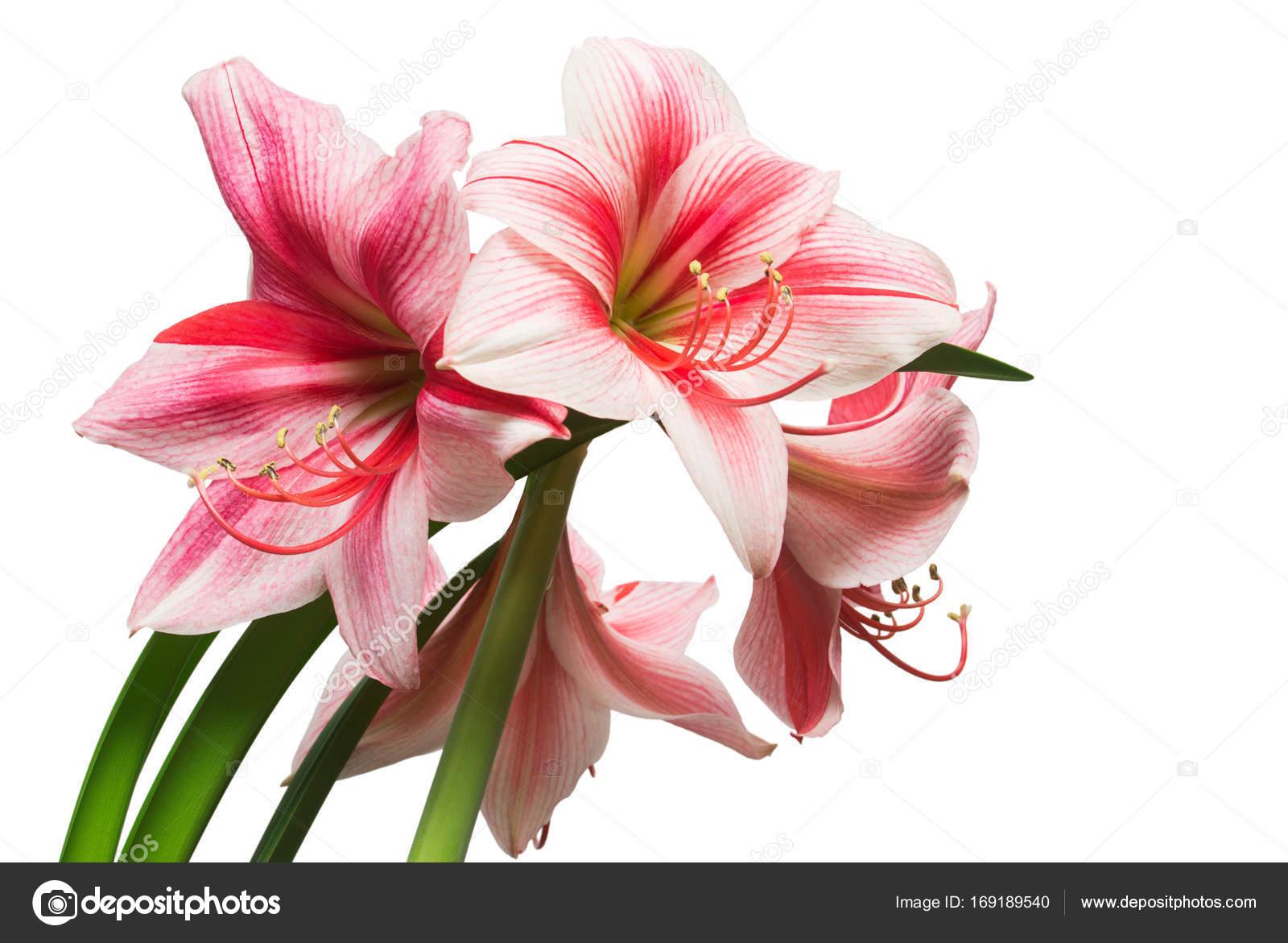Un bouquet de fleurs d amaryllis rose isol sur fond blanc for Fleurs amaryllis bouquet