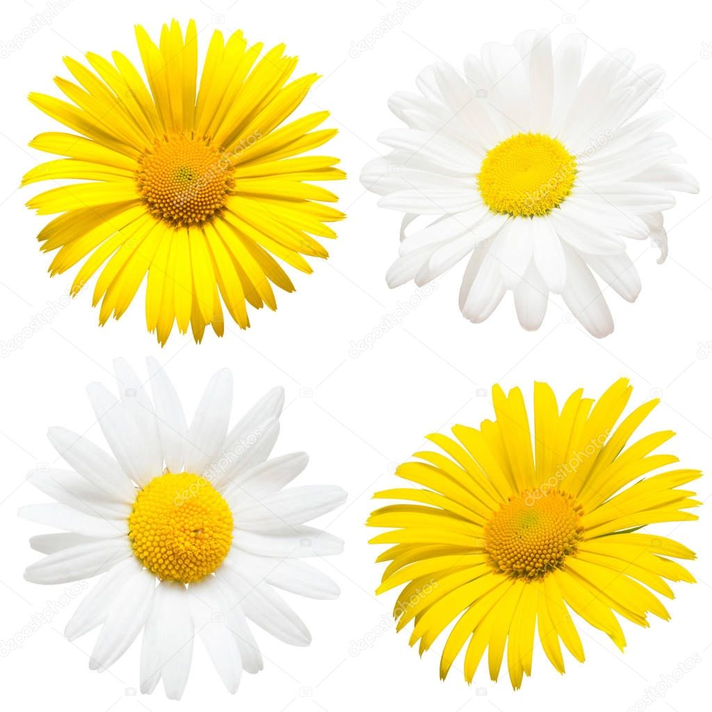 Collection of beautiful daisy flowers isolated on white backgrou